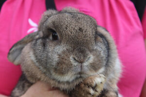 Holland lop with hutch