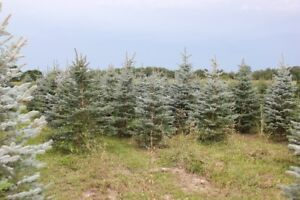 Landscape/ Privacy trees $35.