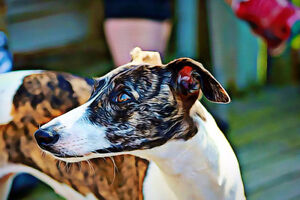 Curious about Whippets?