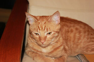 Lost Orange Male Cat Strathcona County Edmonton Area image 1