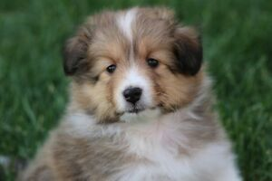 Quality Sheltie puppy CKC reg'd (Female)