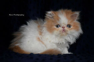 Extreme flat-faced purebred Persian male kitten
