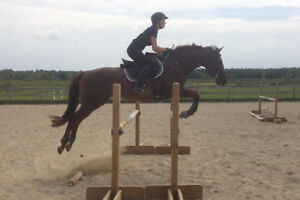 Handsome and well schooled 16.1hh  2007 OTTB gelding for sale Kingston Kingston Area image 1