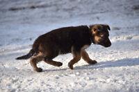 German Shepherd Puppies FEMALES