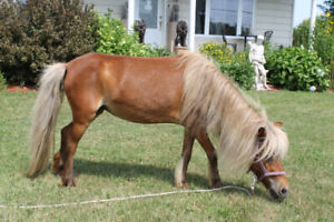 cheval miniature (special)375.00$