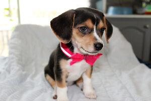 Chihuahua Beagle a vendre