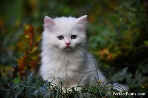 Fluffy White Ragdoll/Persian kittens