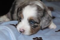 6 Beautiful Puppies...Shihtzu X Toy Austrailian Shephard
