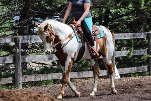 Quarter Horse Paint Gelding for Part board orangeville