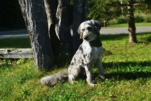 Aussiedoodle puppies F1b  Pic#9 sold