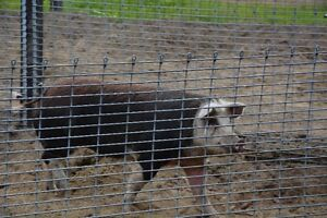 Hereford Boar and Sow