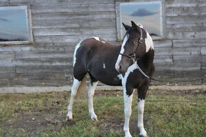 wonderful, loving pony! Strathcona County Edmonton Area image 4