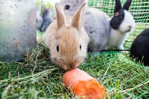 plusieur bebe lapins a vendre et a donner