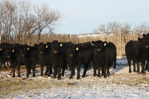 32 Commercial black angus bred heifers for sale
