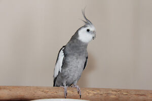 Cockatiel White face