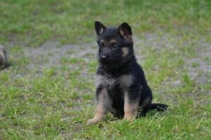 German Shepherd CKC Registered Puppies