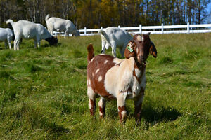 Goats for Sales