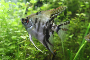 Angelfish Juveniles / 9 months old