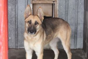 ADOPT CAPTAIN THE FUN LOVEN SHEPHERD CROSS OR CO. VIA CARES