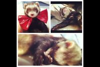 Ferret for sale to good home