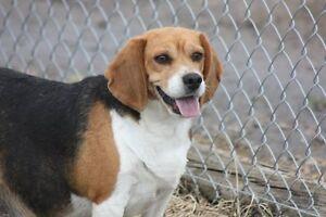 Adopt Molly the Beagle