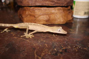 Lined Leaftail Gecko Uroplatus lineatus male for sale