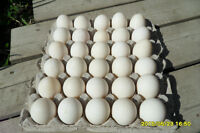 fresh duck eggs for sale