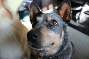 Lily is a 2 yr old shepard mix