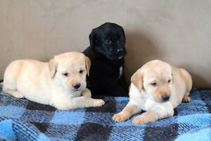 CKC registered Yellow and black Labrador Retriever Puppies
