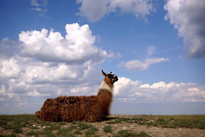 LLAMA male, 5 years old, from the prairies, good male