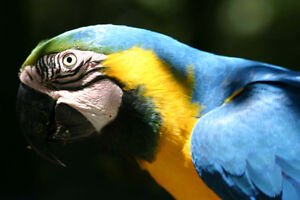 Wanted - Blue and Gold Macaw