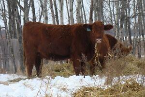 Bred heifers selling on Dec. 9th/16 at Whitewood Auction Regina Regina Area image 4