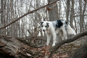 Purebred ABCA registered Border Collies