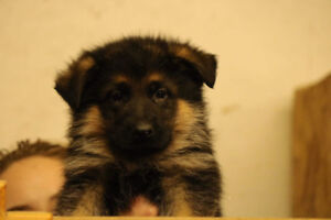 TOP QUALITY GERMAN SHEPHERD PUPPIES! READY TO GO!