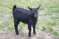 Full Blood unregistered Black Nigerian Dwarf goat doeling