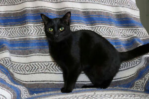 Jill, Sleek and Shiny Black Kitty~For Adoption with KLAWS