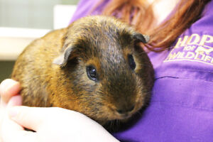 Guinea Pig for Adoption - George Michael (male, 10 months old)