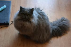 Chat Persan/Persian Cat