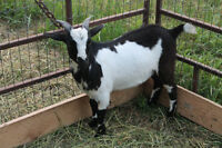 For sale: pigmy goats