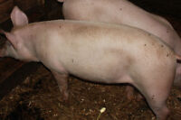 Pig avail sell or trade
