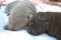 Registered Silver and Chocolate Lab pups