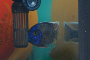 Flametail Peacock cichlid