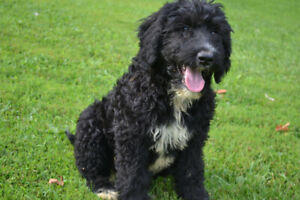 GOLDENMOUNTAINDOODLE (Golden Retriever/Bernese/Poodle