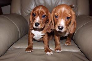 Beaglier puppies for sale, Beagle X Cavalier