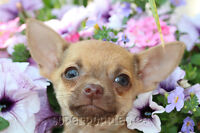 Chihuahua puppies - gorgeous and ready to go!