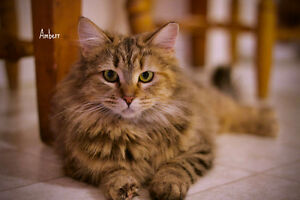 MEET LONG HAIRED FLUFFY AMBERR...ADORABLE,ADOPTABLE