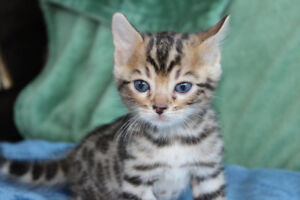 Registered Purebred Brown Bengal kitten