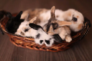 Purebred Holland Lop Bunnies for sale