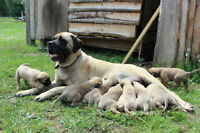 English Mastiff X Italian Mastiff puppies