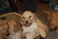 Purebread Standard Poodles- last male eager to sell